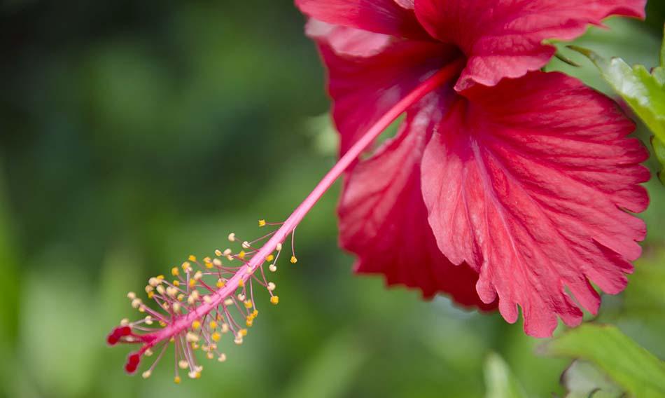 Hibiscus Sabdariffa Doğal Renklendirici